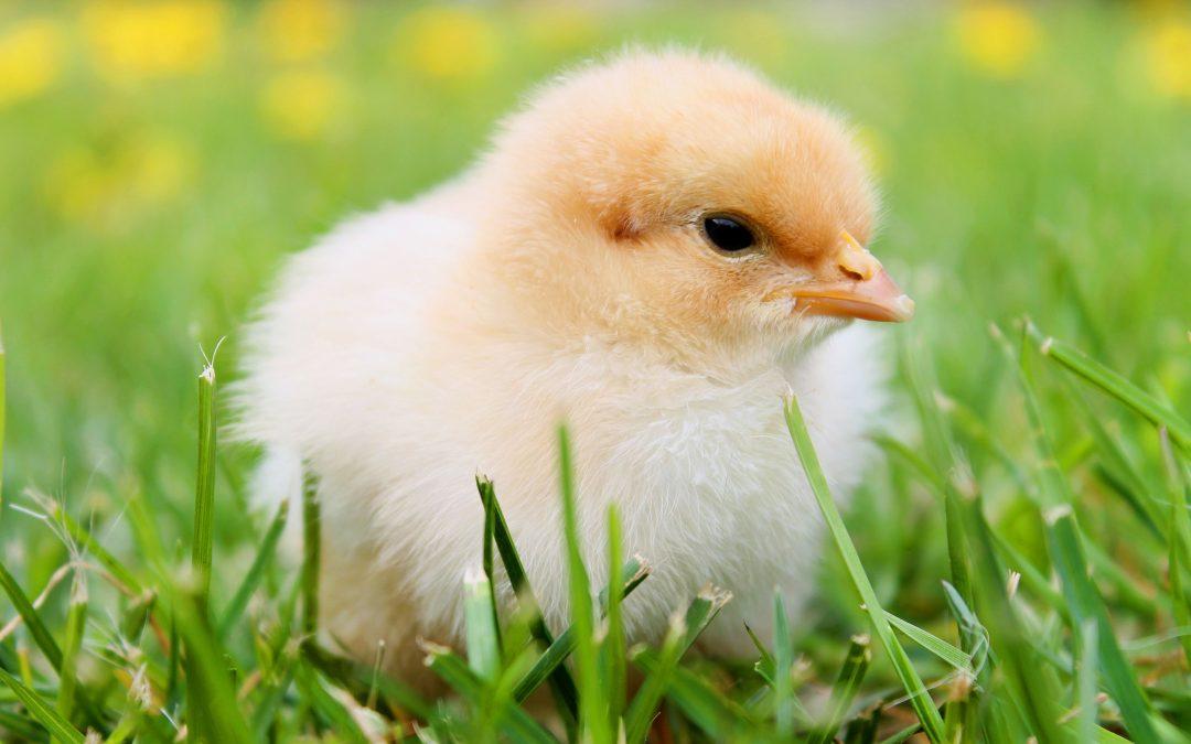 Maar waarom dan - de kip of het ei